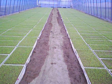 稲の苗2009の3