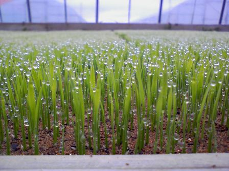 稲の苗2009の4