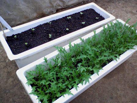 水菜と大根