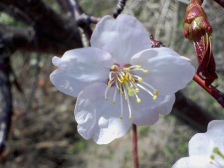 桜咲く咲く
