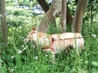 草を食む・・・イヌ