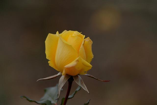 薔薇ヘンりーフォダ