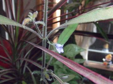 ツーテンプル花