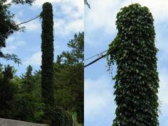 蔦に覆われ電柱