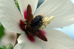 ムクゲに蜂