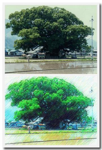 加茂の大楠