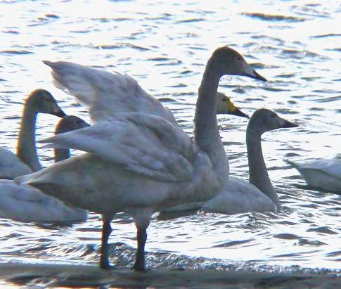 白鳥羽ばたき 296