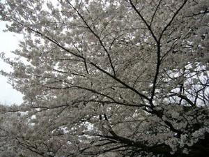 駒沢公園さくら