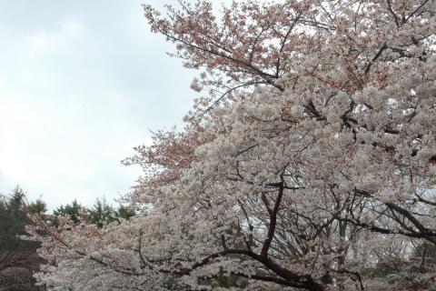 sakura09-ueno01.jpg