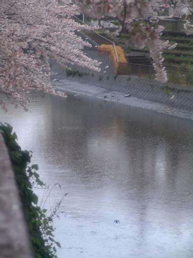 雨と桜とつばめ