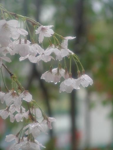 桜の雨の日