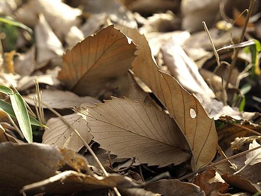 かさかさ落ち葉