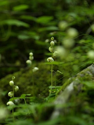 小葉の一薬草