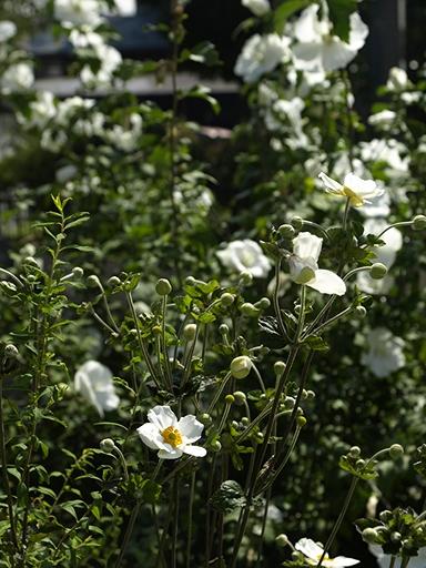 秋明菊とむくげ