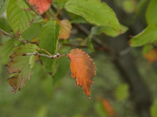 さくらの紅葉