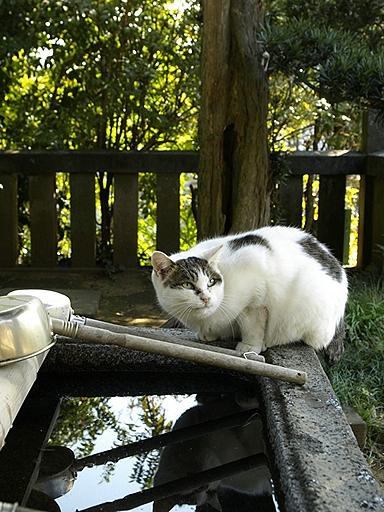 手水舎でみずを飲む猫