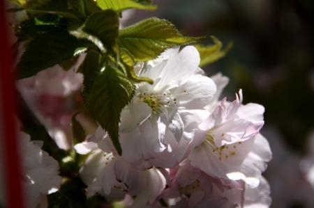 桜 南殿1