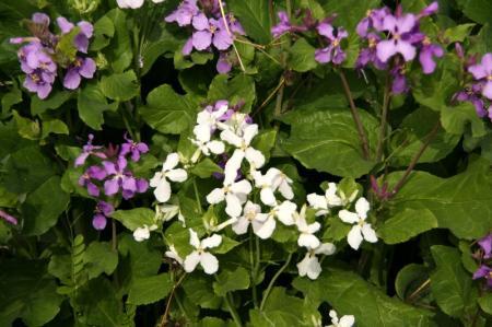 白花 ムラサキハナナ