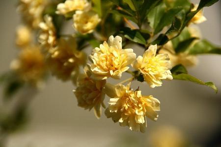 モッコウバラ 黄1