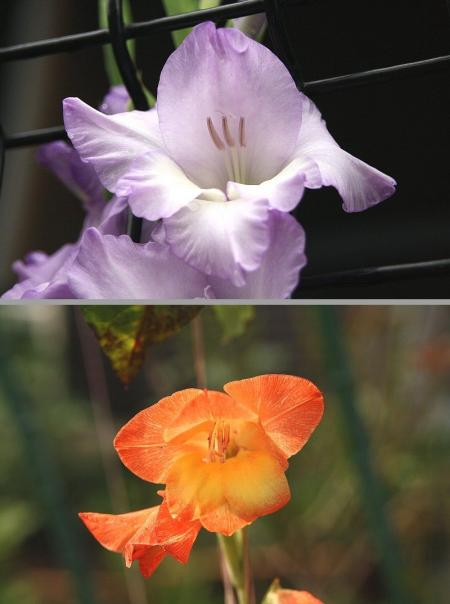 グラジラス 紫