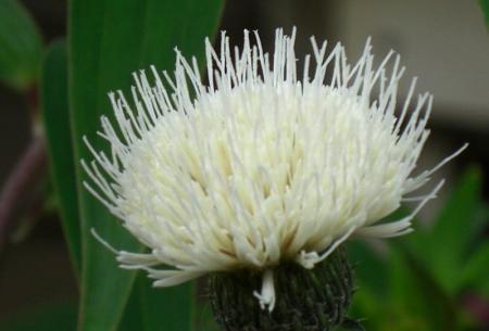 アザミ 白花