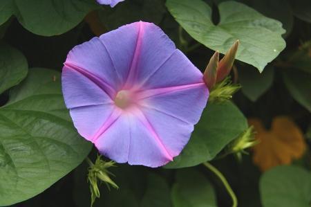 西洋紫陽花 ヘブンリーブルー