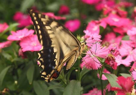 蝶 ナミアゲハ