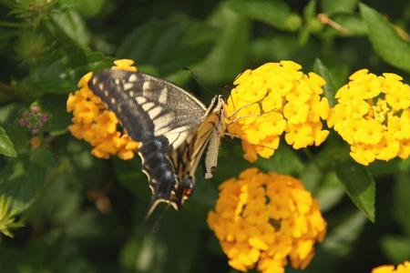 蝶 ナミアゲハ1