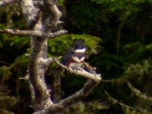 kingfisher_300.jpg