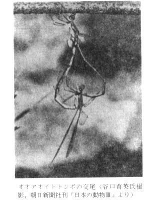 蜻蛉のトナメ