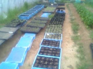 09年夏野菜育苗風景