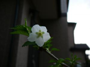 20090419豆桜