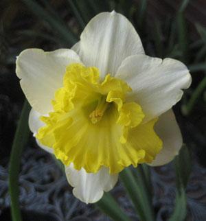 水仙 ラッパ咲き