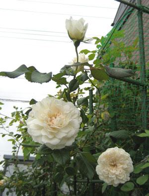ソンブレイユ(OR)ツルバラ