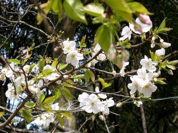 ニホンの桜