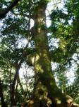 外宮の樹(小)