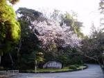 内宮桜(小)