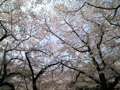 115-1上野桜3