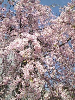 123-1博物館の桜1