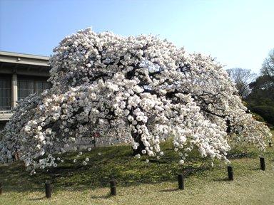 124-1博物館の桜2