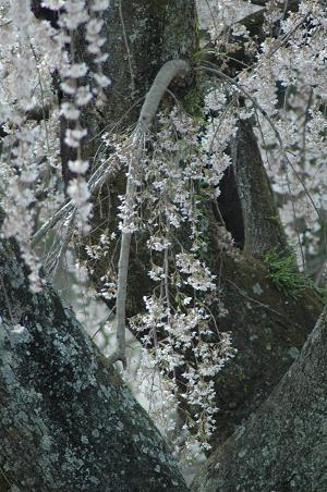 DSC_1954-sakura.jpg