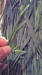 葉っぱの穂