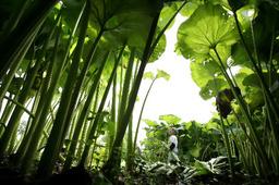 収穫のピークを迎えたラワンブキ=北海道足寄町、葛谷晋吾さん撮影