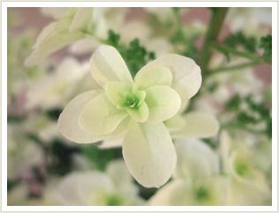 スノーフレークの花