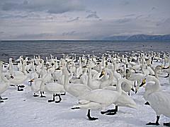 猪苗代湖南岸 青松浜の白鳥