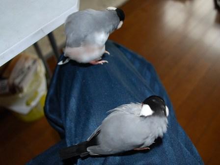 二羽で羽繕い
