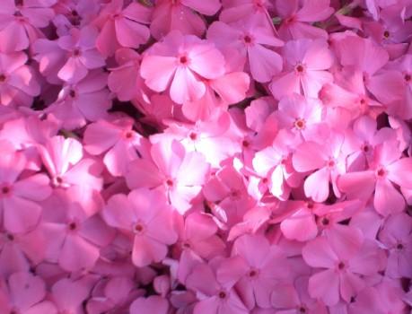 柴桜 ピンク