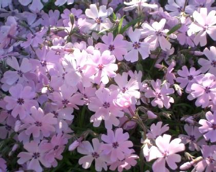 柴桜 薄ピンク