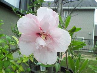 木槿 薄ピンク