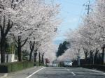 我が家から20mの桜並木